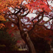 Beautiful Red Japanese Maple Tree In A Garden Poster