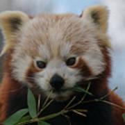 Beautiful Red Panda Poster
