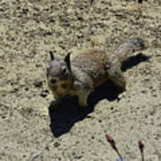 Beautiful Squirrel Standing In A Sandy Area In California Poster