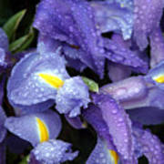 Beautiful Violet Colored Iris Flower With Rain Drops Poster