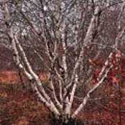 Beautiful White Birch Poster