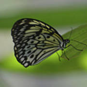 Beautiful White Tree Nymph Butterfly On  A Leaf Poster