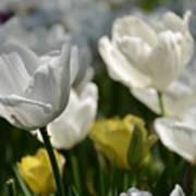 Beautiful White Tulips Poster