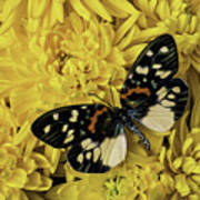 Beautiful Wings On Yellow Mums Poster