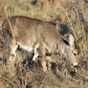 Beautiful Young Deer Poster