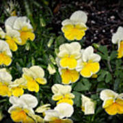 Beautiful Yellow Pansies Poster