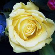 Beautiful Yellow Rose Poster