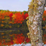 Beauty And The Birch - Nova Scotia Poster