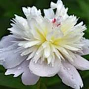 Beauty Can't Be Dampened - Festiva Maxima Double Peony Poster