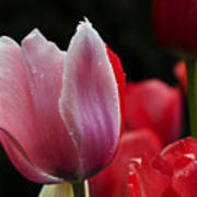 Beauty Of Spring Tulips 1 Poster