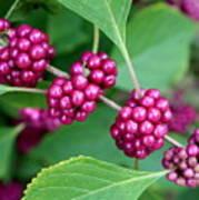 Beautyberry Bush Poster