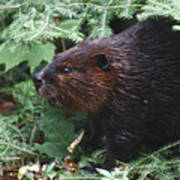 Beaver In Forest Poster