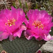 Beavertail Cactus Flowers Poster