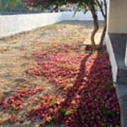 Bed Of Bougainvillea Poster