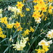 Bed Of Daffodils Poster