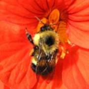 Bee And Nasturtium Poster