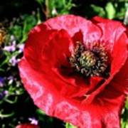 Bee And Red Poppy Poster