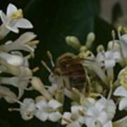 Bee And Small White Blossoms Poster