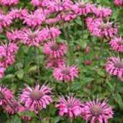 Bee Balm Beauties Poster