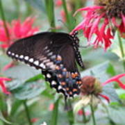 Bee Balm Butterfly Poster
