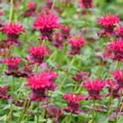 Bee Balm Poster