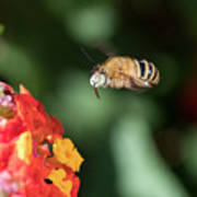Bee, Bumblebee, Flying To A Flower, In Marseille, France Poster