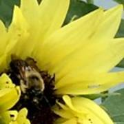 Bee In Sunflower Poster