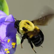 Bee Landing On Spiderwort Flower Poster