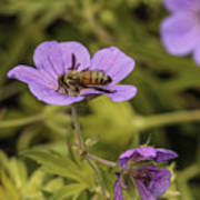 Bee On A Purple Flower Poster