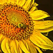 Bee On A Sunflower Poster