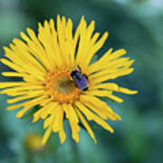 Bee On Curlyhead Goldenweed Poster