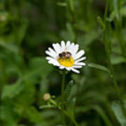Bee on daisy Poster