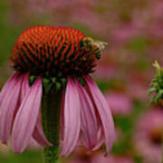Bee On Echinacea Poster