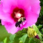 Bee On Edge Of A Hibiscus Flower Poster
