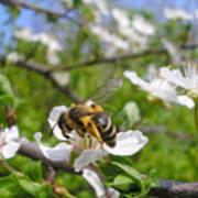 Bee On Flower On Tree Branch Poster