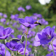 Bee On Perenial Geranium Rozanne Poster