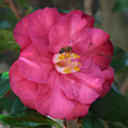 Bee On Pink Camellia Poster