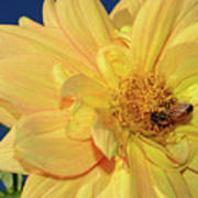 Bee On Pretty Dahlia By Kaye Menner Poster