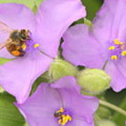 Bee On Purple Spiderwort Poster