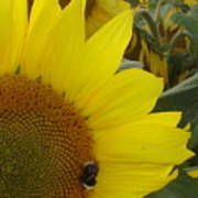 Bee On Sunflower 1 Poster