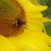 Bee On Sunflower 3 Poster