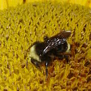 Bee On Sunflower 4 Poster