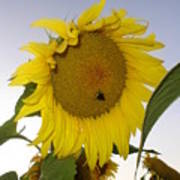 Bee On Sunflower 5 Poster