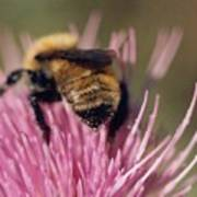 Bee On Thistle 102 Poster