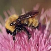 Bee On Thistle 103 Poster