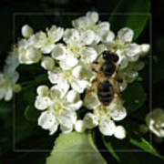 Bee On White Flowers 2 Poster