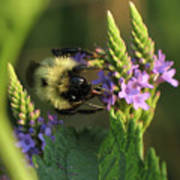 Bee On Wildflower Poster
