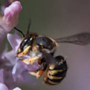 Bee Sipping Nectar Poster