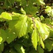 Beech Hedge In Spring Poster