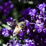 Bees Love Purple Poster